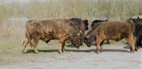Galloway runderen