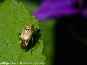 Weideschaduwwants (Tribus Mirini)